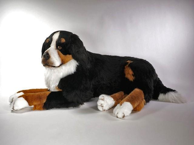 Bernese Mountain Dog Piutre